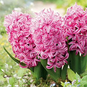 Hyacinth Fondant