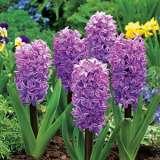 Hyacinth Splendid Cornelia