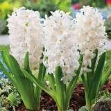 Hyacinth White King