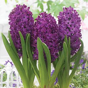 Hyacinth Woodstock1