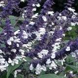 Salvia Meigans Magic