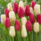 Tulip Beaumes De Venise Bollene Blend 16 Visi113100