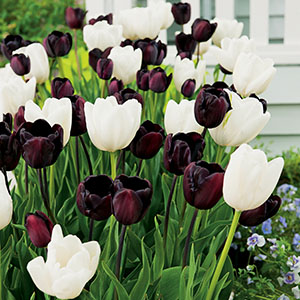 Tulip Black And White Blend