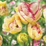 Tulip Belicia 16