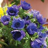 Anemone Poppy Blue