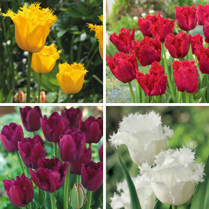 NOVELTY TULIP COLLECTION