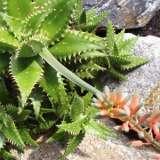Aloe-Airies-16