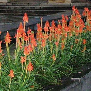Aloe Topaz Pbr Garden Express