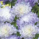 Aster-Dutchess-Blue-Ice