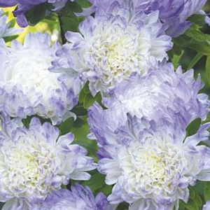 Seed – Aster Dutchess Blue Ice