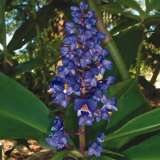 Blue Ginger Flower