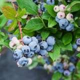 Blueberry-Sunshine-Blue-16