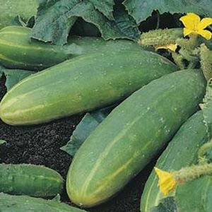 Seed – Cucumber Spacemaster