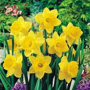 Daffodil Yellow Trump