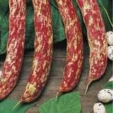 Seed – Bean Dwarf Borlotti