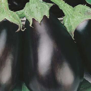 Seed – Eggplant Black Beauty 150 Pk