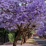 Jacaranda_Tree_2016