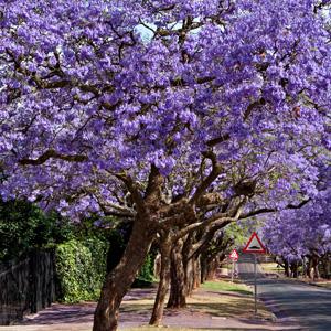 Jacaranda Tree 2016