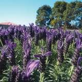 Lavender Javelin