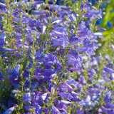 Penstemon-Heavenly-Blue-2016