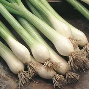 Seed – Spring Onion White Lisbon
