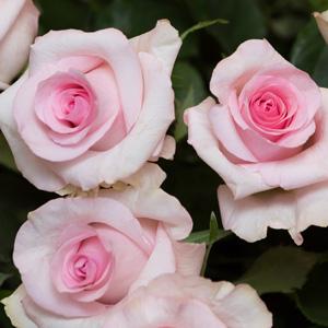 Brindabella Rose – Lamour