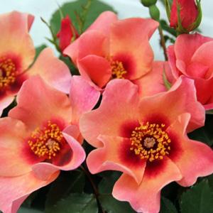 Brindabella Rose For Your Eyes Only