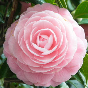 Camellia Ave Maria Garden Express