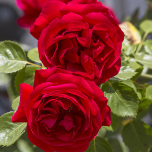 Weeping Standard Rose Red Pierre Pbr Garden Express