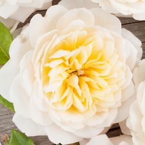 Rose Troilus