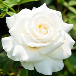 Hybrid Tea Rose – Frances Phoebe
