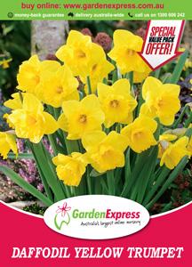 Ge Valuepack Daffodil Yellow Trumpet 300x2141 - Garden Express Australia