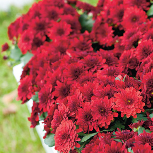 Garden Mum Chrysanthemum Monza Red