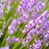 Lavender-Miss-Katherine-16