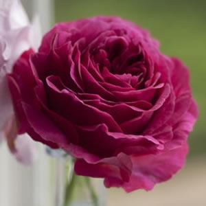 David Austin Rose Othello Garden Express