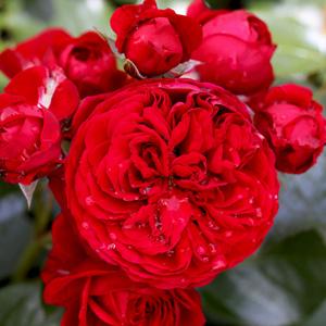 Floribunda Rose Red Riding Hood Garden Express