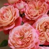 Floribunda Rose – Renmarks Rose