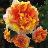 Rose Brindabella Golden Tiger