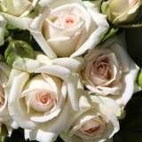 Rose-Irresistible16L