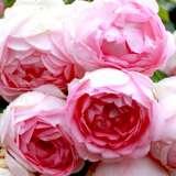 weeping standard rose dorothy perkins garden express. Black Bedroom Furniture Sets. Home Design Ideas