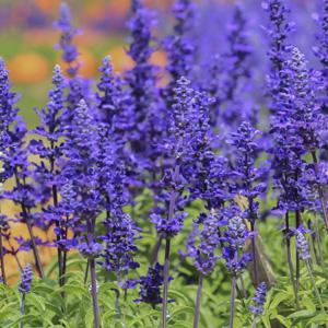 SALVIA MYSTIC SPIRES BLUE - Garden Express