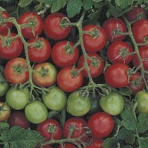 Seed – Tomato Tommy Toe 50 Pk
