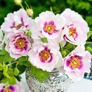 Brindabella Rose Eyes For You (pbr)