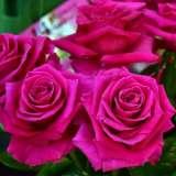 Brindabella Rose Magnifica