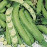 Seed – Broad Bean Coles Early Dwarf
