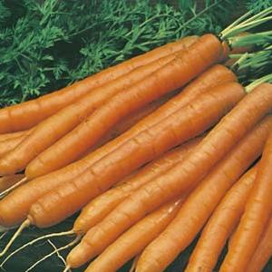 Seed – Carrot Baby Pak