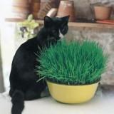 Seed – Cat Grass