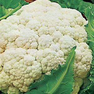 Seed – Cauliflower Quickheart