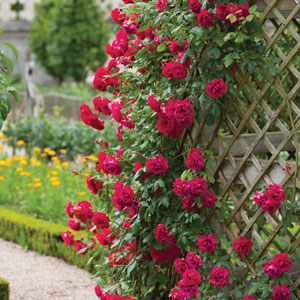 Climbing Rose Mr Lincoln