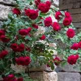 Climbing Rose Red Pierre De Ronsard (pbr)
